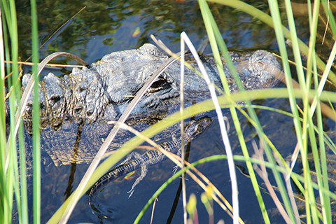 A up close photo of a newly hatched alligator swimming alongside its mother.
